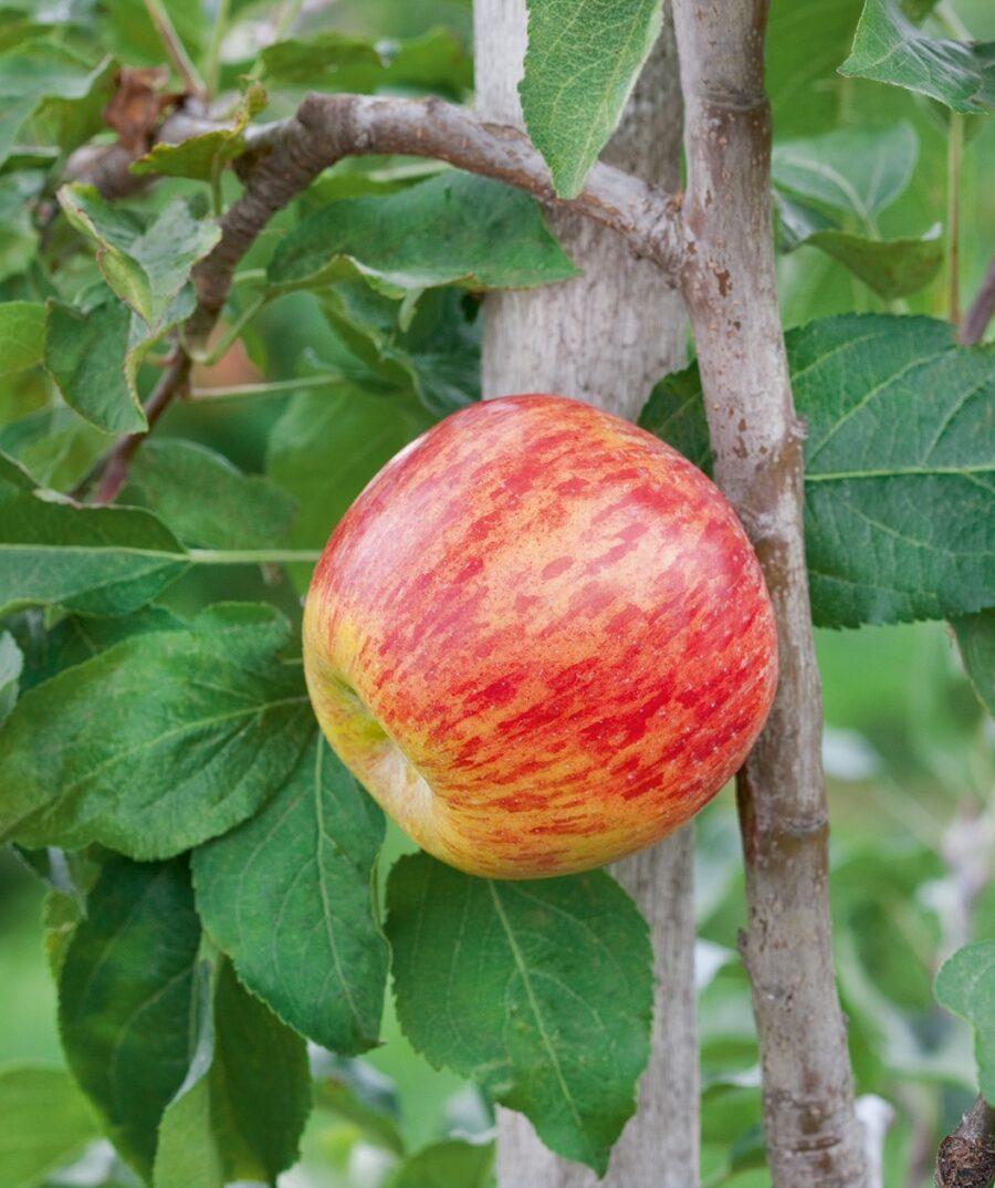 jabolko grafenštajnc