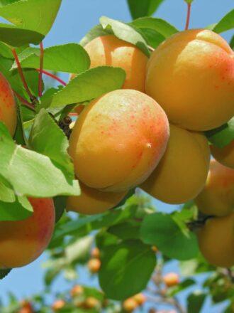 Sadike sadnega drevja Putar